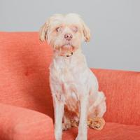 Adopt A Pet :: Tiny - Mission Hills, CA