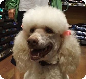 Memphis Tn Standard Poodle Meet Lulu A Pet For Adoption