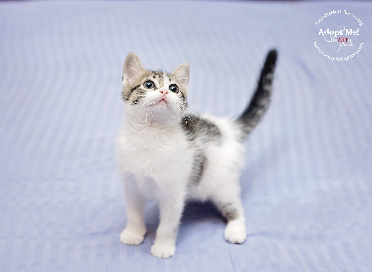 Seattle, WA - American Shorthair. Meet CLEO - very playful a Cat for ...