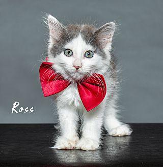 Adopt A Pet :: Ross  - Houston, TX