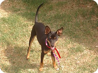Clarksville Tn Miniature Pinscher Meet Lantz A Pet For Adoption