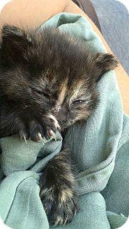 Calico Kitten for adoption in Rocklin, California - Clover
