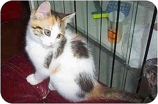 Chapman Mills Ottawa On Calico Meet Sassy A Pet For Adoption