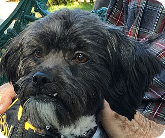 Lhasa Apso Mix Dog for adoption in Pleasanton, California - Grover - adoption pending
