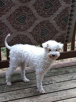 Adopt A Pet :: Lily  - Renton, WA