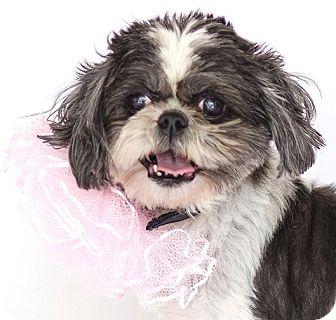 Orlando Fl Shih Tzu Meet Powder Puff A Pet For Adoption
