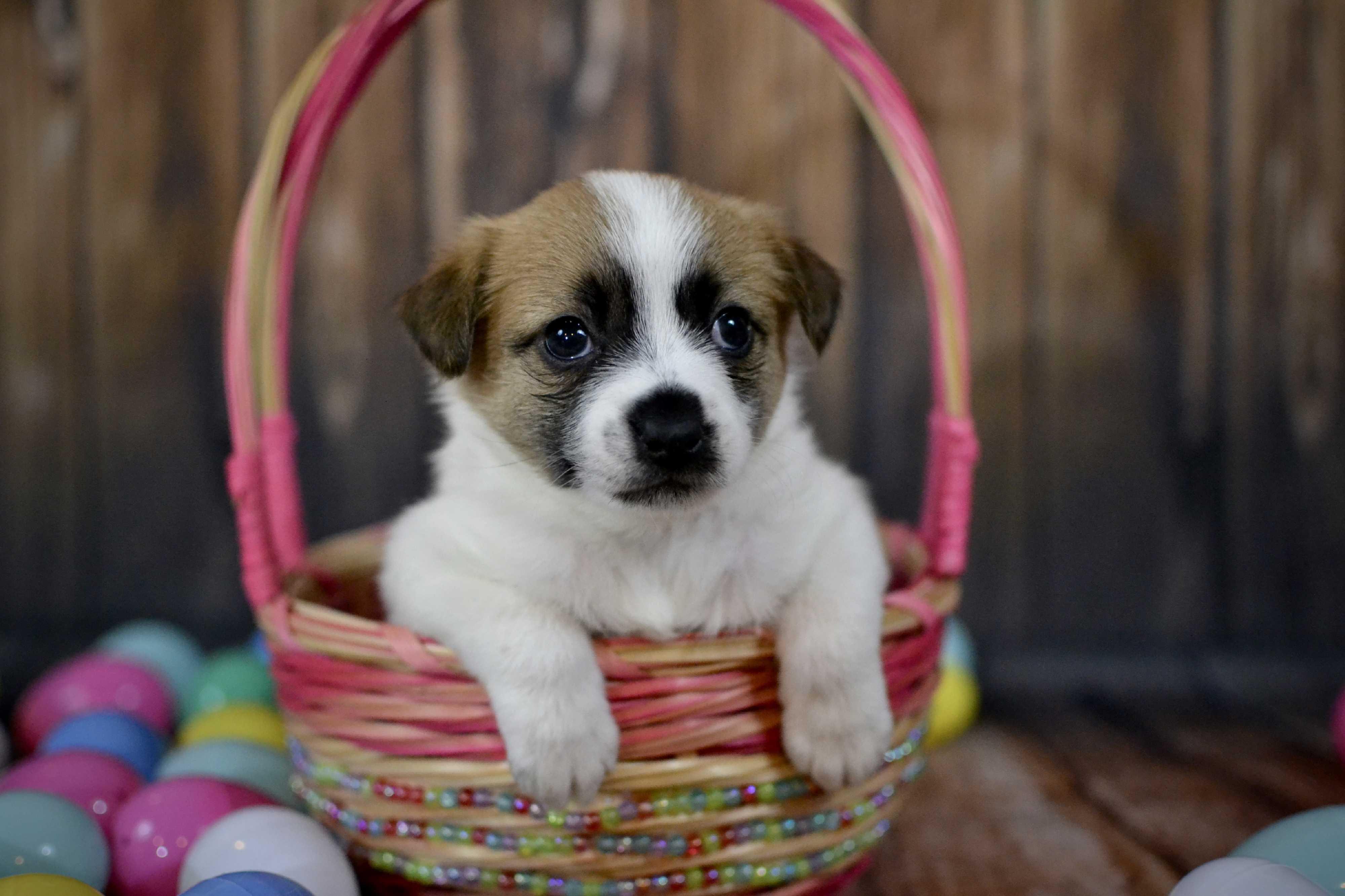 Frisco, TX - Jack Russell Terrier. Meet Jinx a Dog for Adoption.
