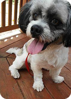 Havanese Puppy for adoption in Boca Raton, Florida - Jerry