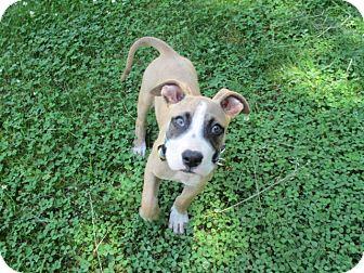 Old Bridge Nj Boxer Meet Bullet A Pet For Adoption