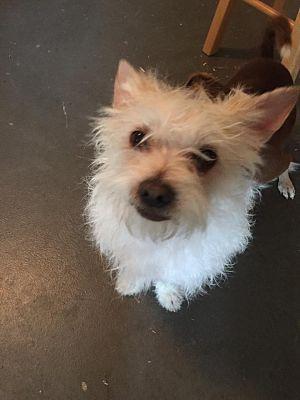 Lodi, CA - Westie, West Highland White Terrier  Meet Scampy a Pet