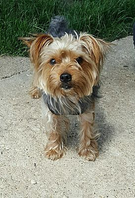 Chicago Il Yorkie Yorkshire Terrier Meet Kingsley A Pet For