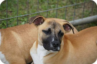 Boxer/Jack Russell Terrier Mix Puppy for adoption in River Falls, Wisconsin - Don