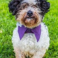 Poodle (Miniature)/Shih Tzu Mix Dog for adoption in San Diego, California - Fallbrook