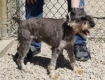 Adopt A Pet :: Geddy  - Wilmington, OH