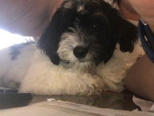 Prole Ia Havanese Meet Friday A Pet For Adoption