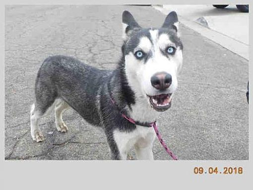 Santa Maria Ca Siberian Husky Meet Jack A Dog For Adoption