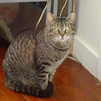 Adopt A Pet :: Rusty Purring Feline Soul! - New York, NY