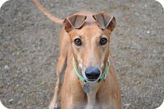 Greyhound Dog for adoption in Chagrin Falls, Ohio - Wildwood (Flying Wildwood)