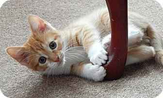 Domestic Shorthair Kitten for adoption in Austintown, Ohio - Lilo