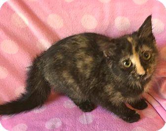 Domestic Mediumhair Kitten for adoption in Mansfield, Texas - Ana