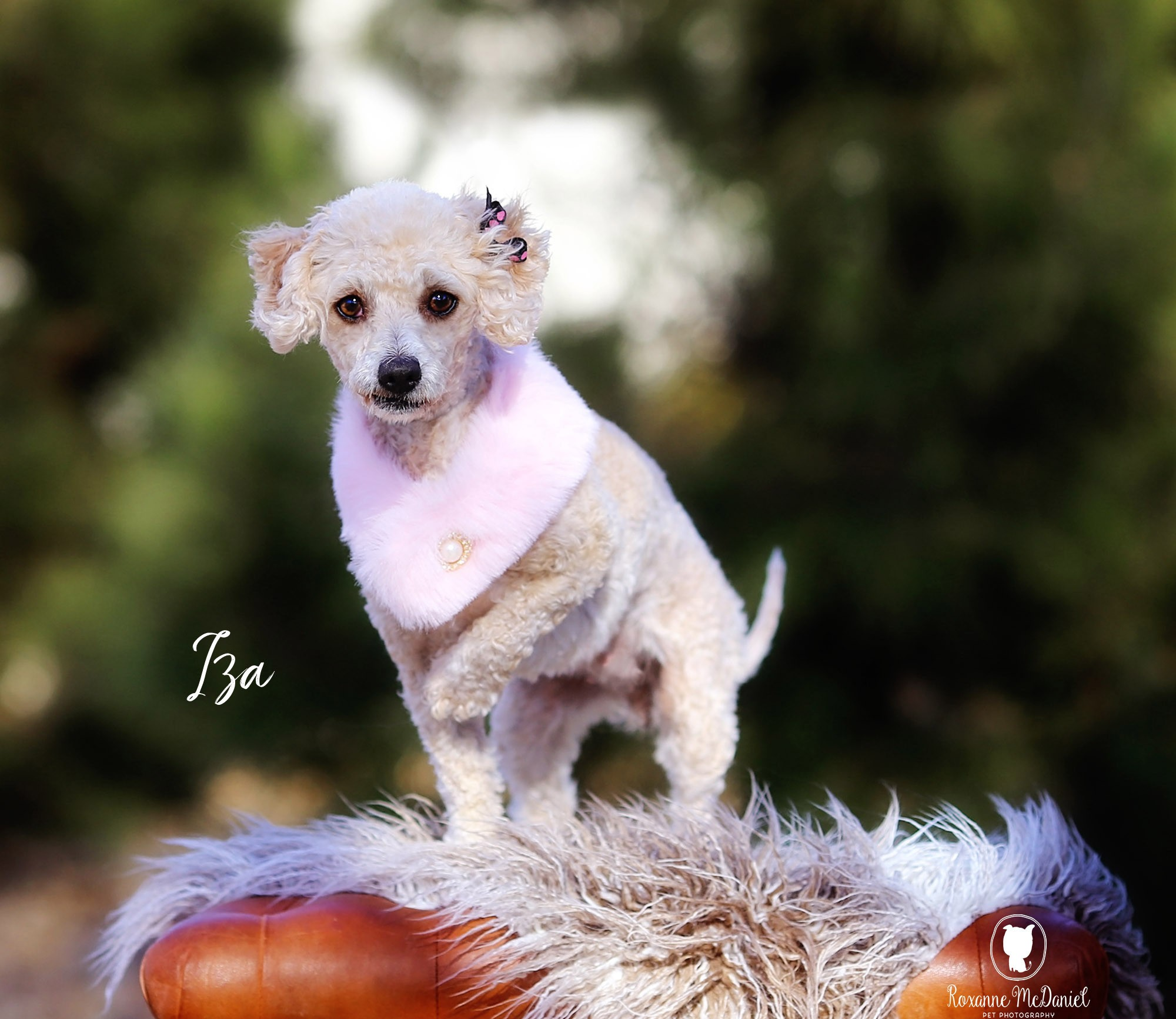 Lubbock, TX - Poodle (Miniature)  Meet IZA a Pet for Adoption