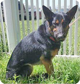 German Shepherd Dog Dog for adoption in Manor, Texas - Fritz