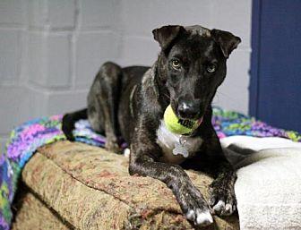 Greyhound/Australian Cattle Dog Mix Dog for adoption in Stafford, Virginia - Boomerang