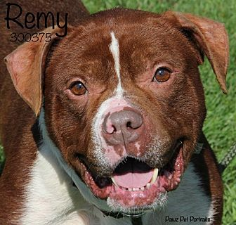 Adopt A Pet :: Remy Labeau  - Troy, MI