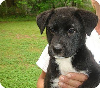 Old Bridge Nj Border Collie Meet Sassy A Pet For Adoption
