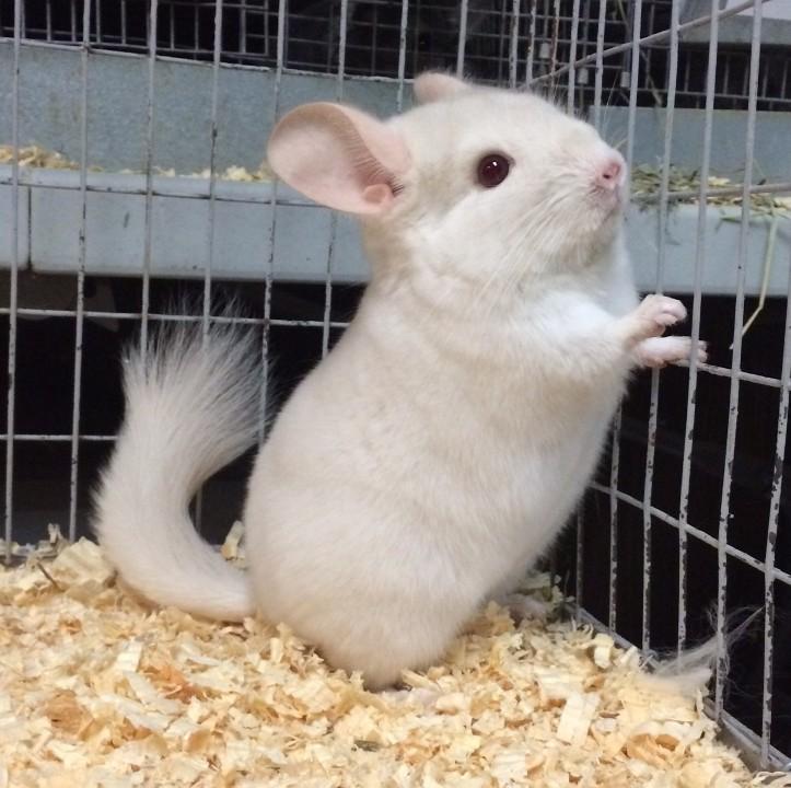 Chinchilla For Sale >> Hammond In Chinchilla Meet 4 Mo Goldbar Female Chinchilla A Pet