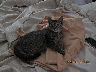 Domestic Shorthair Kitten for adoption in Spartanburg, South Carolina - Toby