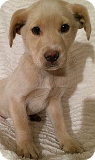 Labrador Retriever/Australian Shepherd Mix Puppy for adoption in SOUTHINGTON, Connecticut - Andy
