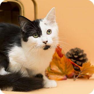 Domestic Mediumhair Kitten for adoption in Oviedo, Florida - Cindy (Crawford)