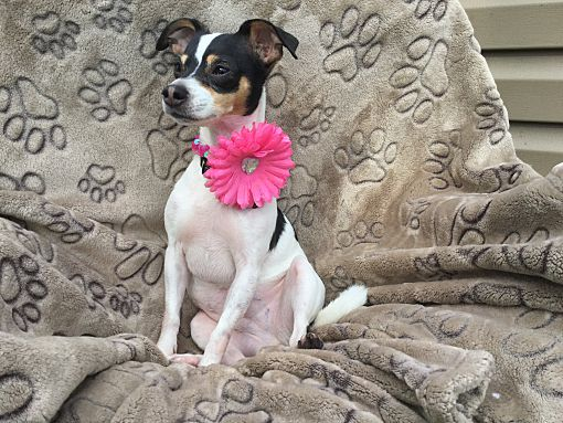 Mentor Oh Chihuahua Meet Penny 5yr Adopted A Pet For Adoption