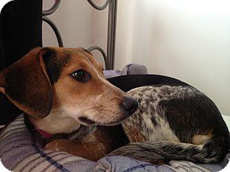 Cincinnati, OH - Australian Cattle Dog. Meet Molly: 6 months a Dog for Adoption.