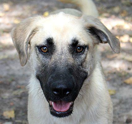 Carrollton, TX - Anatolian Shepherd  Meet SAROYA a Pet for