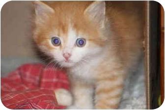 Domestic Mediumhair Kitten for adoption in Toronto, Ontario - Pumpkin