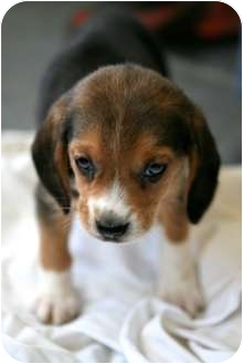 Salamanca Ny Beagle Meet Beagle Baby Boy A Pet For