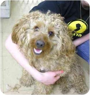 Brooklyn, NY - Cockapoo  Meet Curly a Pet for Adoption
