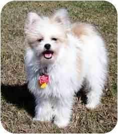Osseo Mn Pomeranian Meet Rory A Pet For Adoption