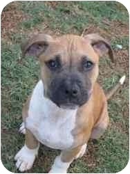 Boxer Mix Puppy for adoption in Syacuse, New York - Moggie
