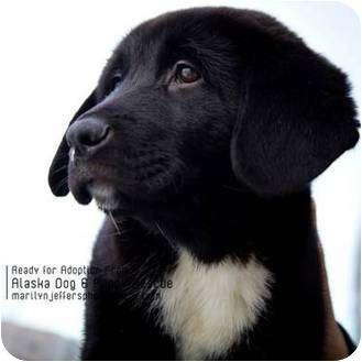Newfoundland Mix Puppies For Adoption Goldenacresdogs Com