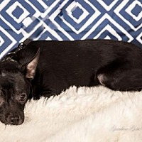 Adopt A Pet :: Marley from the 'band' - Elizabethtown, PA