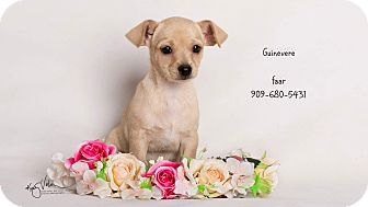 Chihuahua Mix Puppy for adoption in Riverside, California - Guinevere