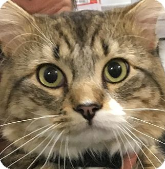 Domestic Mediumhair Cat for adoption in Clayville, Rhode Island - Stanley -- Young!