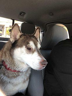 Adopt A Pet :: Kuma  - Renton, WA