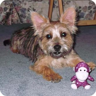 Troy, OH - Cairn Terrier  Meet Buddy~Adopted!! a Pet for