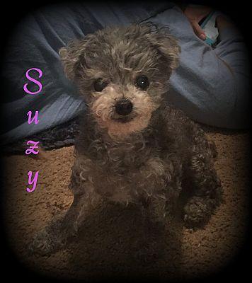 Denver Nc Toy Poodle Meet Suzy A Pet For Adoption