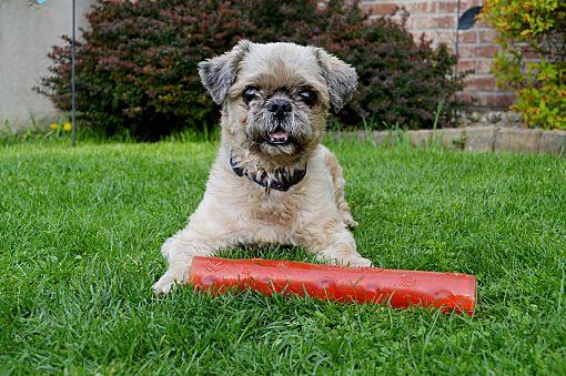 Pittsburgh Pa Shih Tzu Meet Peko A Pet For Adoption