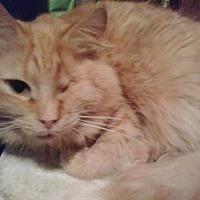 Adopt A Pet :: Simba *Courtesy Post* - Redding, CA